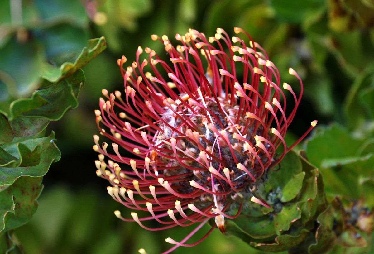 The free high-resolution photo of tree, nature, blossom, plant, leaf, flower, bloom, produce, evergreen, botany, flora, wildflower, australia, shrub, protea, pincushion, macro photography, flowering plant, flowering shrub, land plant, thorns spines and prickles, proteales, protea family