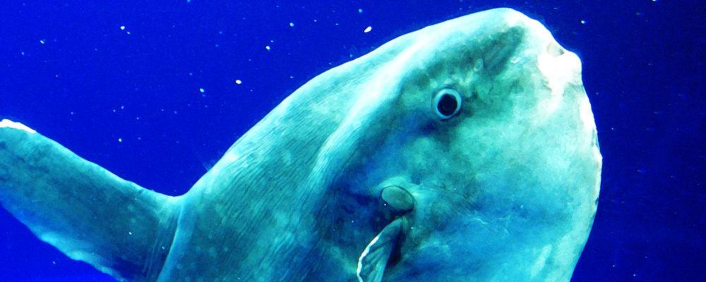 It's a Shark! It's a Submarine! It's a Bathysphere! It's a …Fish?