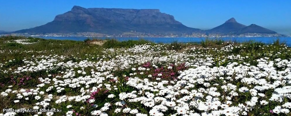 A view of table mountain overlooking a field of spring daisies.